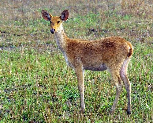 Swamp Deer Youngster by masaiwarrior