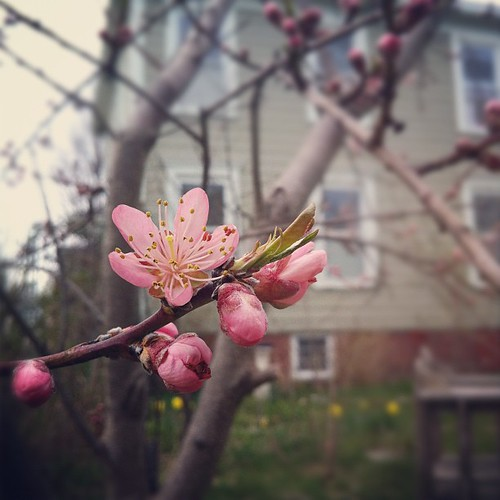 the peach tree blossomed early #maine #mainecoast #organicgarden #urbangarden