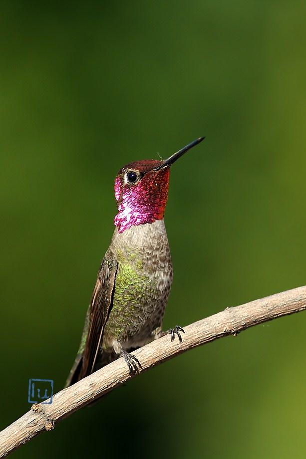 Anna's Hummingbird 041612