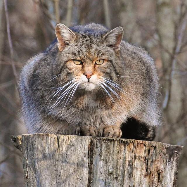 Arctic Cat Wildcat  Seater Specs