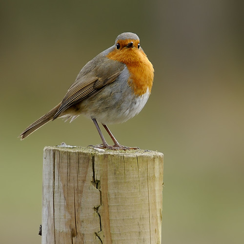 Robin by Andy Pritchard - Barrowford