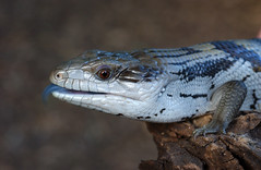 green lizard(0.0), lacerta(0.0), dactyloidae(0.0), agama(1.0), animal(1.0), reptile(1.0), lizard(1.0), fauna(1.0), close-up(1.0), lacertidae(1.0), scaled reptile(1.0), wildlife(1.0),