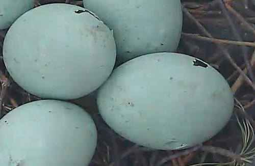 Pips in Great Blue Heron eggs