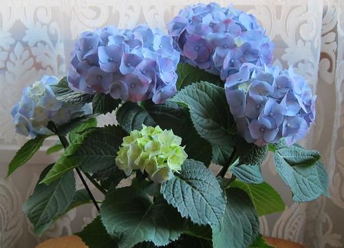 Sininen hortensia by Anna Amnell