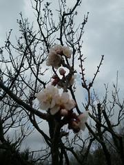 平岡公園梅林の梅