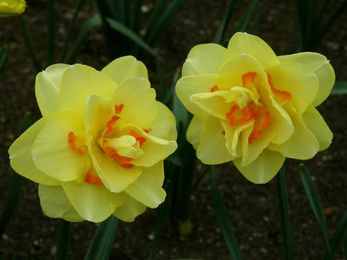 #2729 daffodils (水仙)