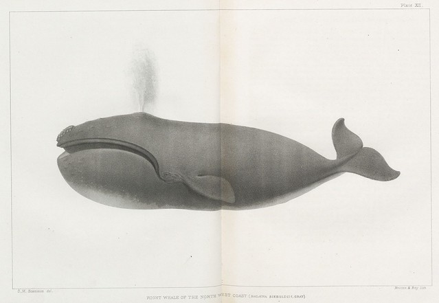 Right whale of the North East coast (Balaena sieboldii, Gray.)