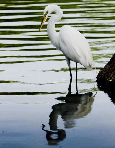 Snowy Egret by Ricky L. Jones Photography