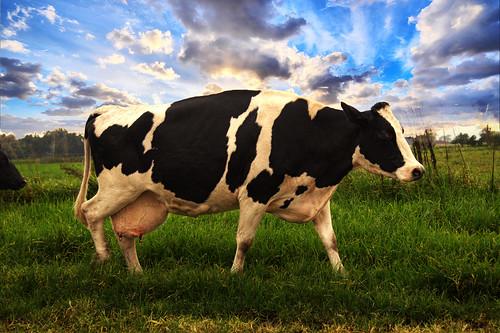 Calderwood Cow NSW