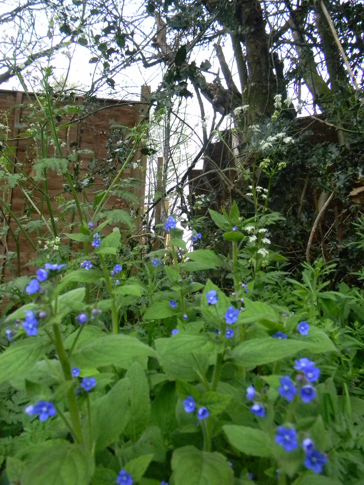 Green alkanet Guildford to Westhumble