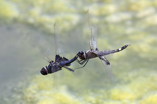 Black Saddlebags Tandem Flight