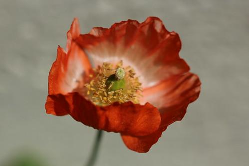 Elegant poppy