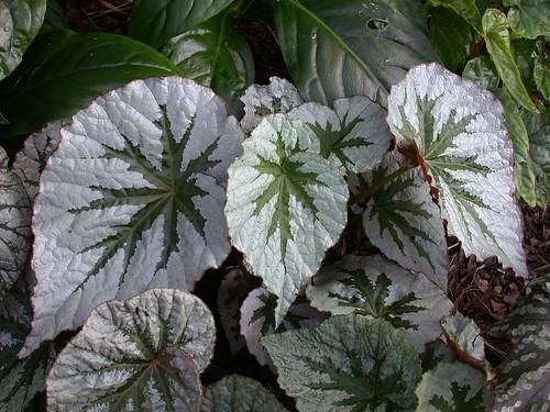 DC Tropics: The begonia that broke my heart