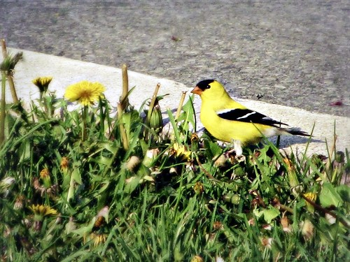 Goldfinch by cherithsky