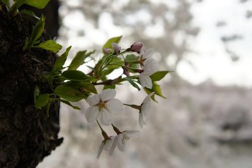 今年の桜特集