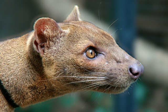 Issa the Fossa