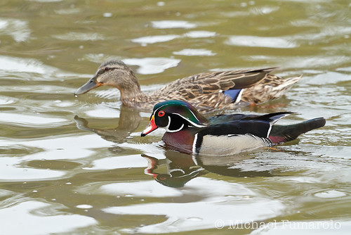 Wood Duck And His Mallard Girlfriend