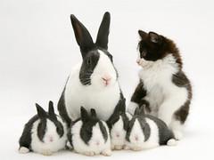 即使珍貴的道奇兔都難逃棄養的命運。(圖片來源:台北市愛兔協會)