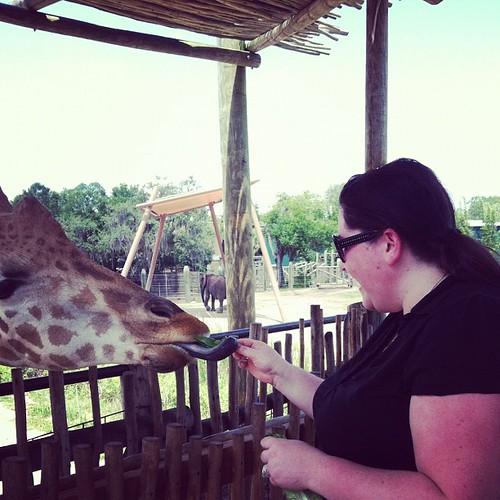 I'm feeding a giraffe!