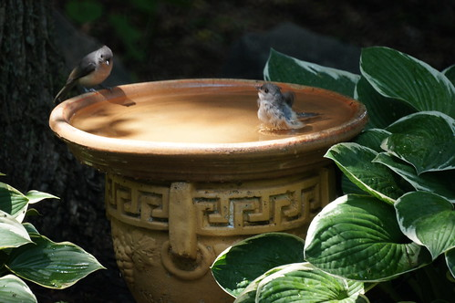 Two titmice in the bird bath