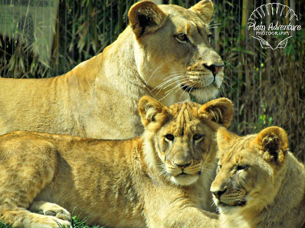 Two Lion Cubs and Mom