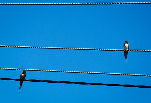 Swallows on the high-voltage power lines