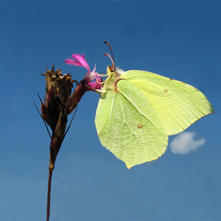 Dinner for One - Common Brimstone (Gonepteryx rhamni) on flowering Meadow