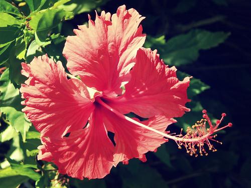 Flor hawaiana - Imagui