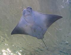 animal(1.0), manta ray(1.0), fish(1.0), marine biology(1.0), skate(1.0), cartilaginous fish(1.0),