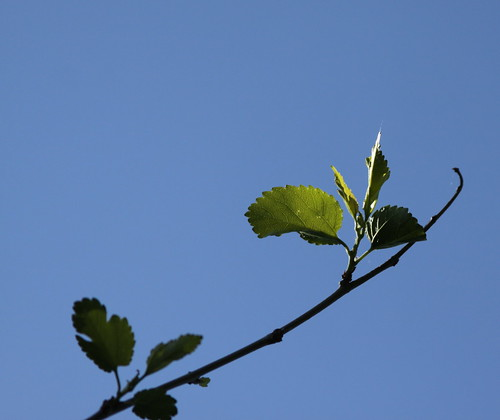 Mulberry Leaves