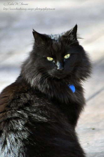 Smokey, our Ragdoll cat