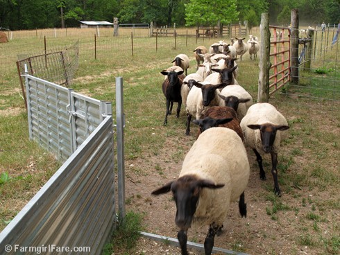 (15) Time for sheep working Sunday! - FarmgirlFare.com