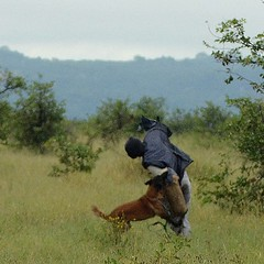 Practicing catching a poacher: Dogs are playing an increasingly important role in African #rhino anti-poaching efforts. The Belgian Malinois is one of the breeds most often used, both for detection and attack purposes.