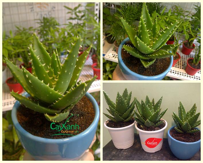 caysenda.com | sen da | xuong rong | tieu canh sen da | art plant | terrarium | sen ham ca map