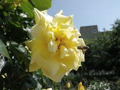 バラとミツバチ[青和ばら公園(足立区青井)]