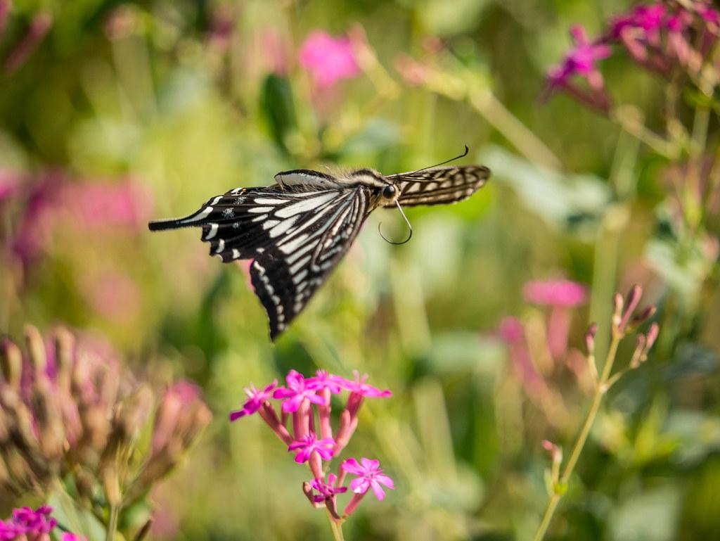 飛翔するアゲハチョウ