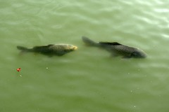 Carp in the moat