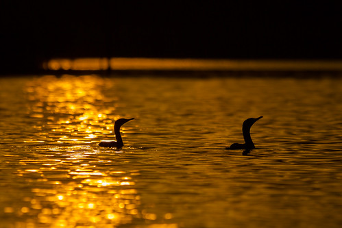sunset nature birds texas wildlife birding cormorant pasadena armandbayou kayakphotography gseloff galvestonbayestuary