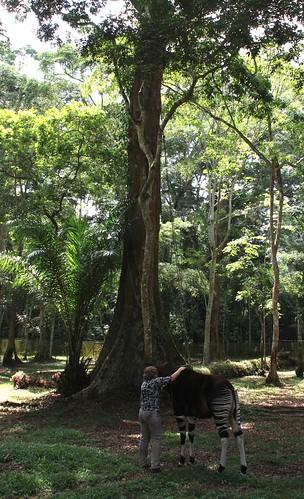 In Epulu: Rosemarie Ruf with Okapi