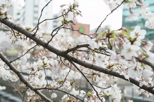 Megurogawa Sakura 06