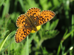 Small Pearl-bordered Fritillary - Clossiana selene