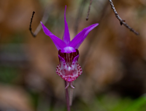 Fairy slipper (Calypso) Orchid