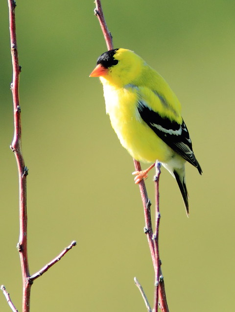American Goldfinch 2-20120510