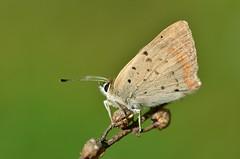 Lycaena phlaeas - Photo of Rudelle