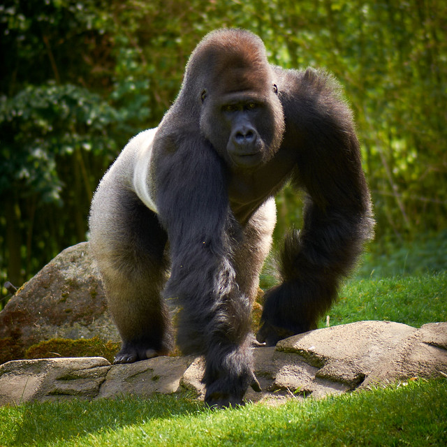 angry gorilla | Flickr - Photo Sharing! - photo#17