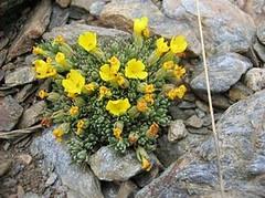 """""""Andrago"""" 一種生長於內華達山脈高海拔地區的植物。(格拉納達大學提供)"""
