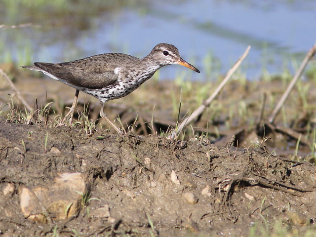 Spotted Sandpiper 2-20120515