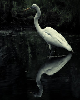 great egret. dusk.