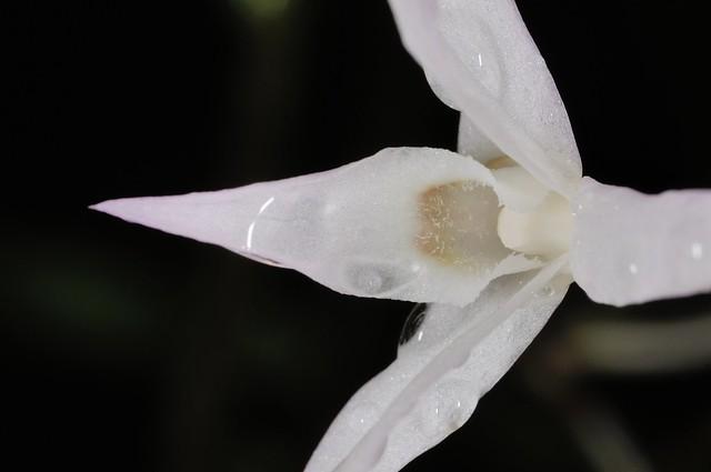 白石斛的花朵