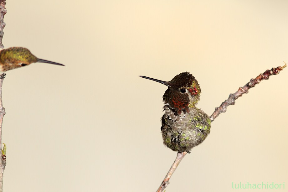 Anna's Hummingbird 051712-3